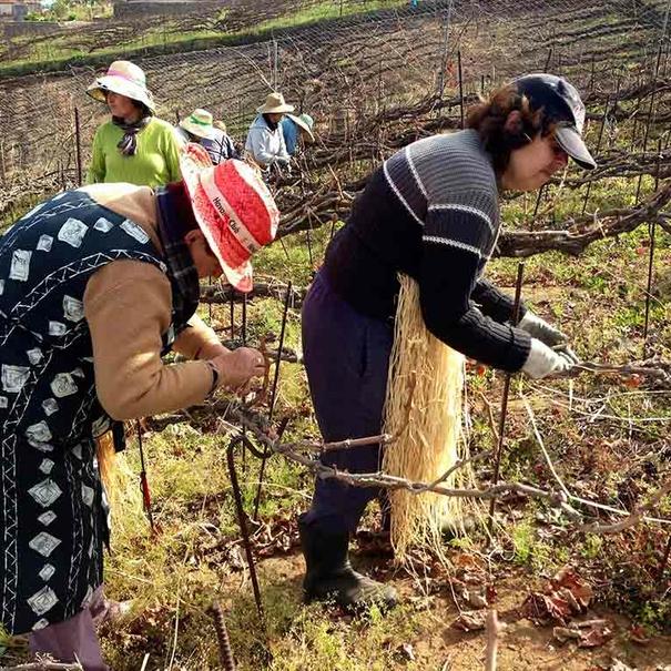 Tradicionalmente las mujeres hacen el trenzado de las cepas