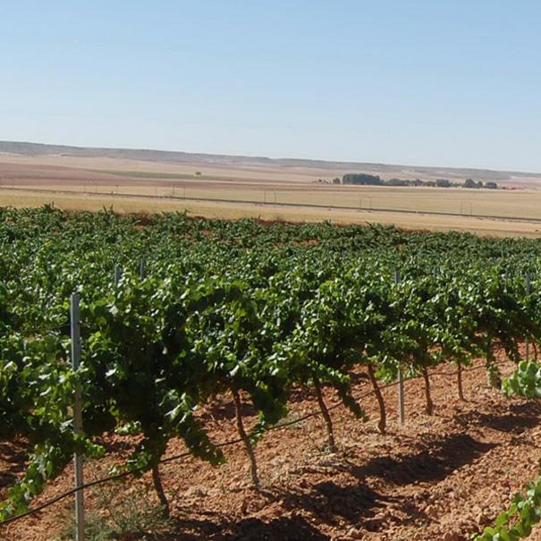 Viñedo de Chardonnay