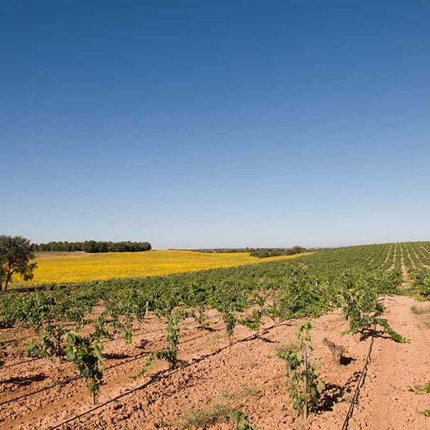 22 hectáreas de viñedo