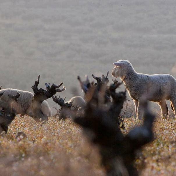 Rebaño de ovejas en el viñedo