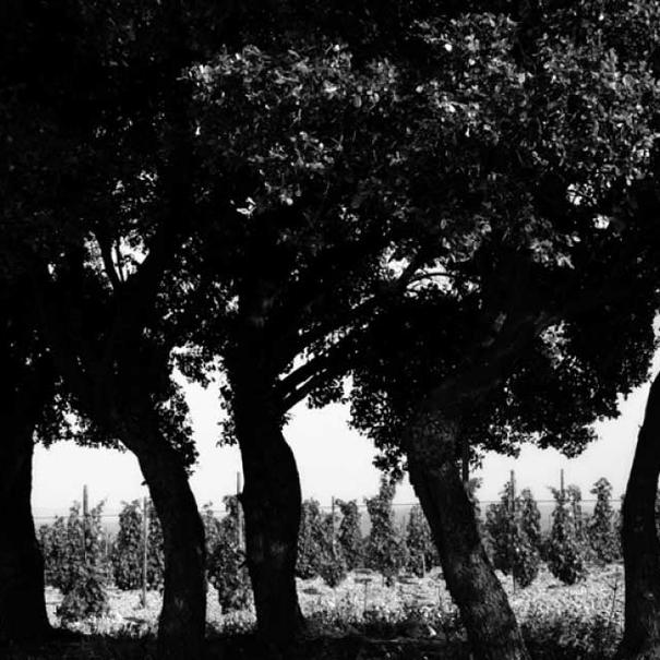 Imagen de los árboles que rodean el viñedo