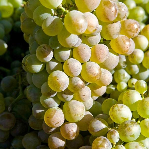 Variedad de uva blanca de la D.O. Monterrei