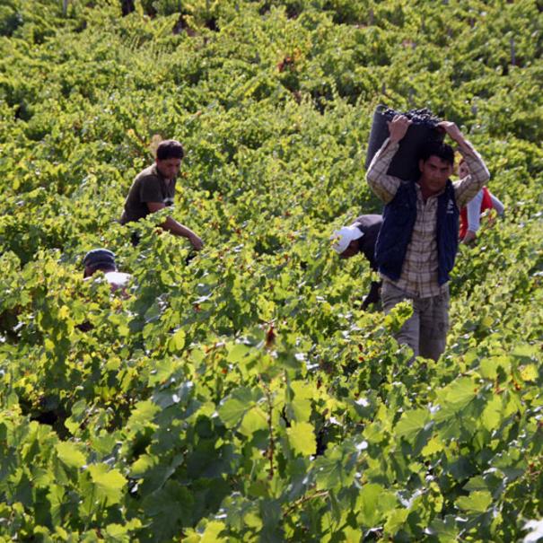 Recolección de la uva