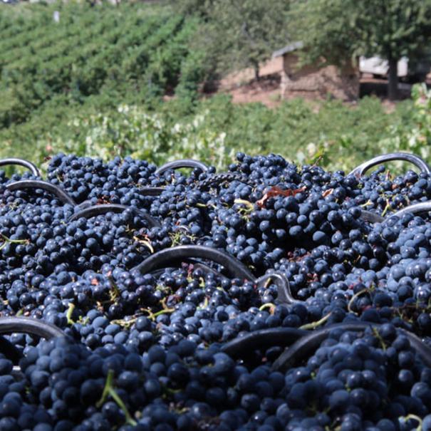 Uvas almacenadas tras la recolección