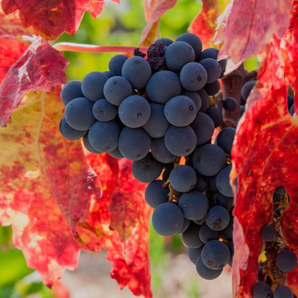 Detalle de las uvas