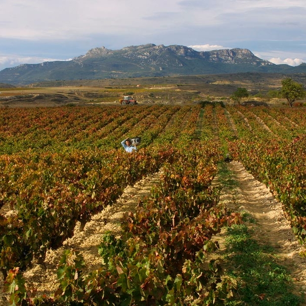 Imagen del viñedo en otoño