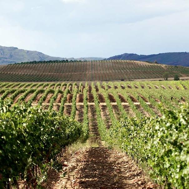 Vista del viñedo de Río Negro