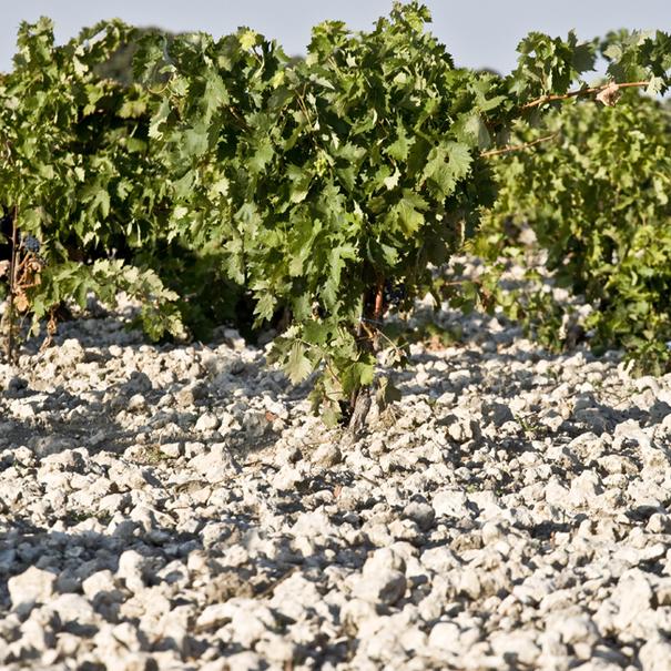 Detalle de la planta y el suelo de uno de los viñedos