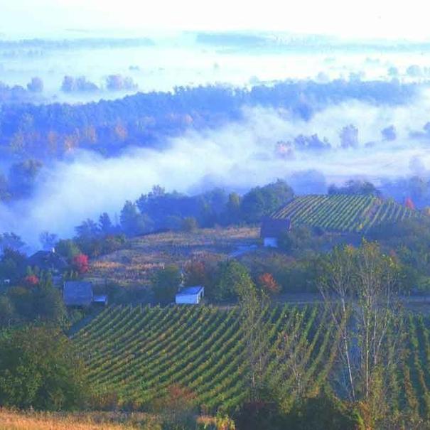 Las nieblas matutinas que favorecen la podredumbre noble