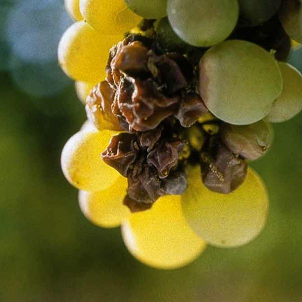 Uvas botritizadas (aszú)