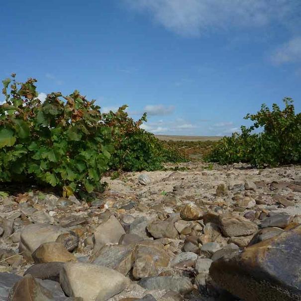 Las cepas están plantadas en vaso en suelos arenosos