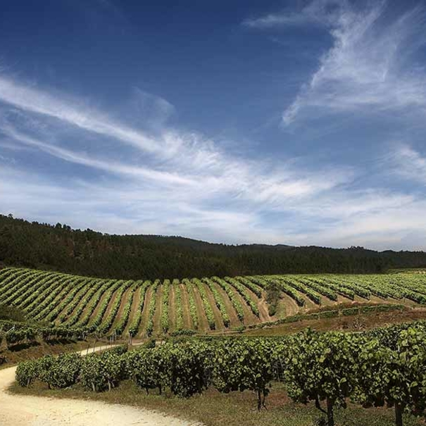 Panorámica de las hectáreas de viñedo