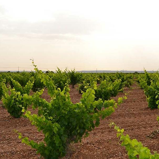 Vista de los viñedos en verano