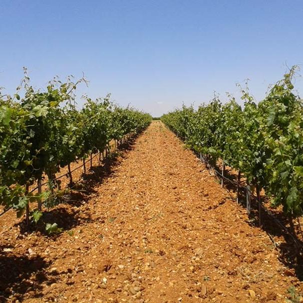 Vista de los viñedos en primavera