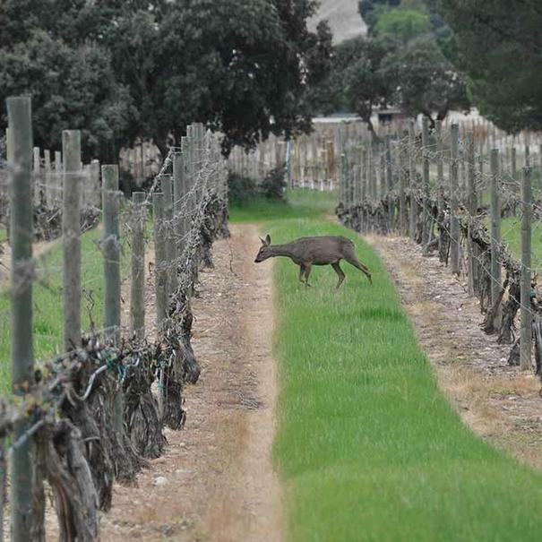 Visitantes inesperados entre el viñedo