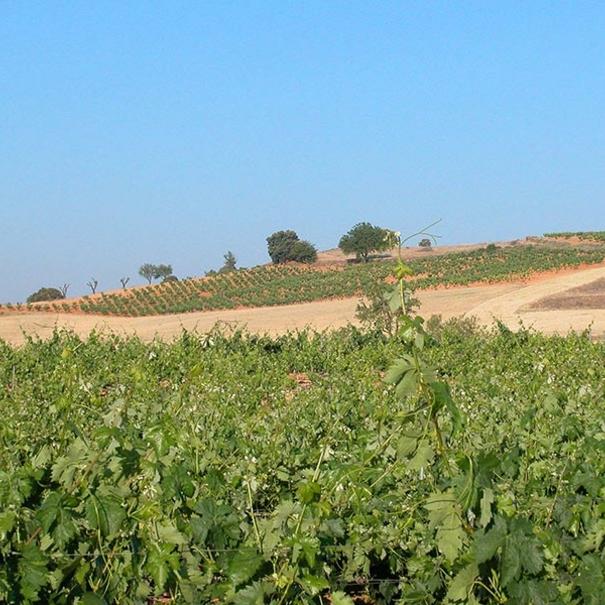 Vista de las viñas en verano