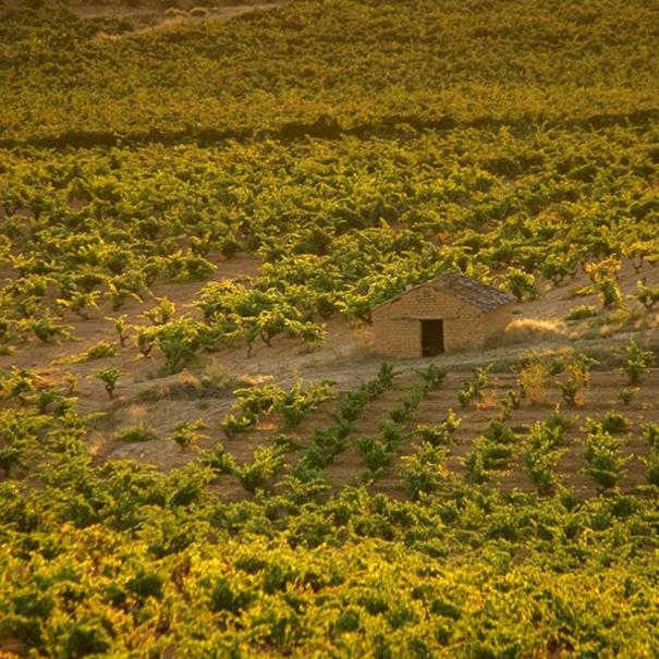 Vista de viñedos