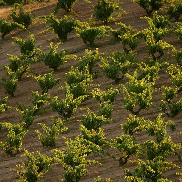 Vista del viñedo en verano