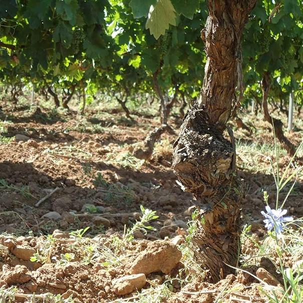 Primavera en el viñedo las Canteras