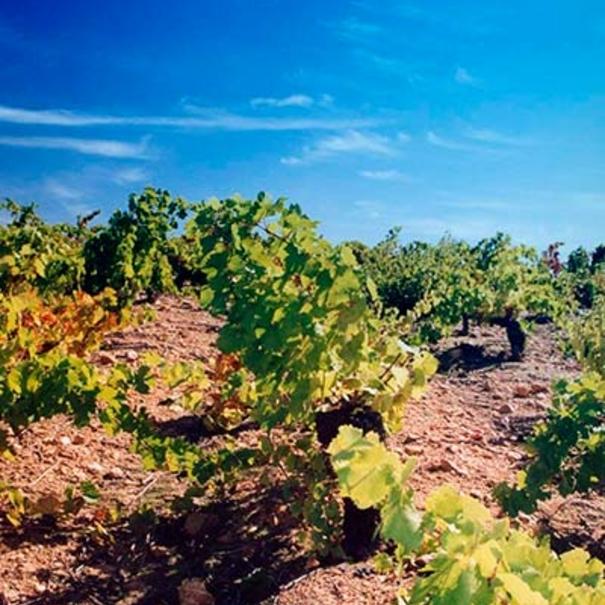 Imagen veraniega de la viña