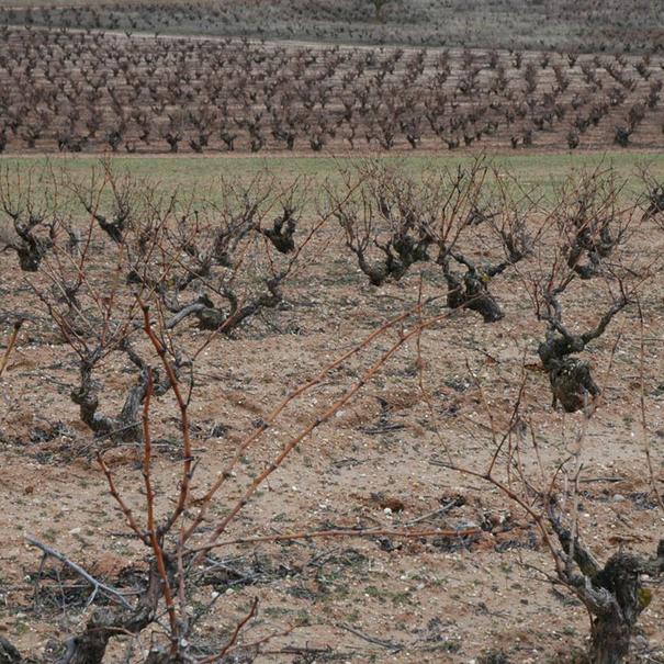Los viñedos durante el invierno