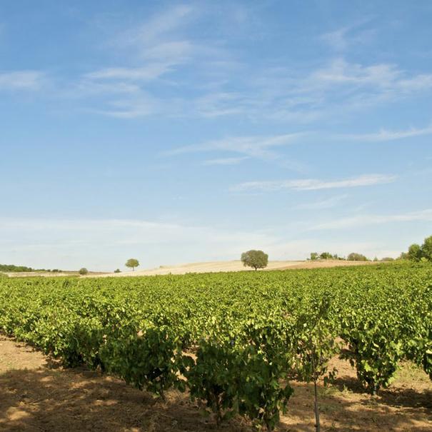 Una muestra de los viñedos de la bodega