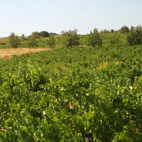 Panorámica del viñedo