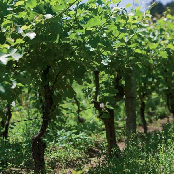 Imagen de las viñas gallegas