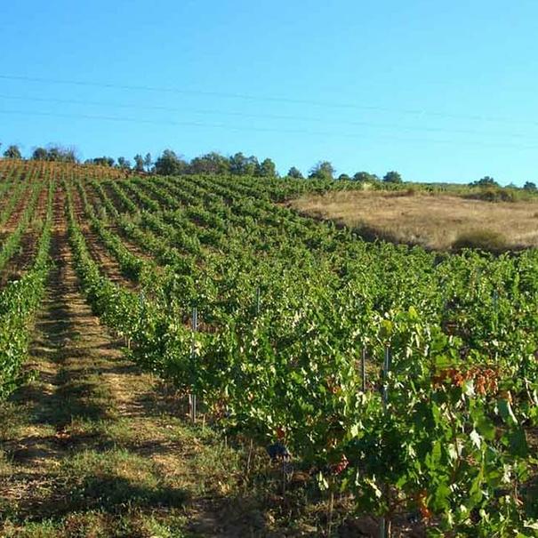 Vista del viñedo en hileras