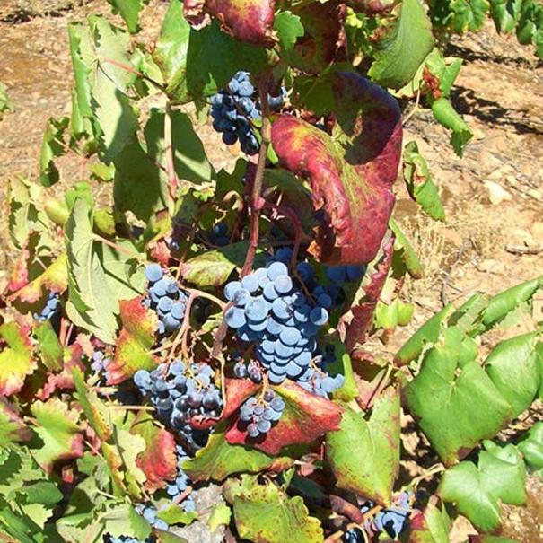 Imagen de la uva