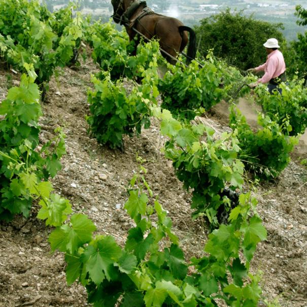 Momento del trabajo en la viña
