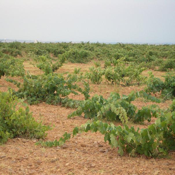 Viñedos situados en Pajares de los Oteros