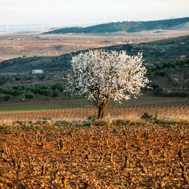 Almendro en flor en mitad del viñedo