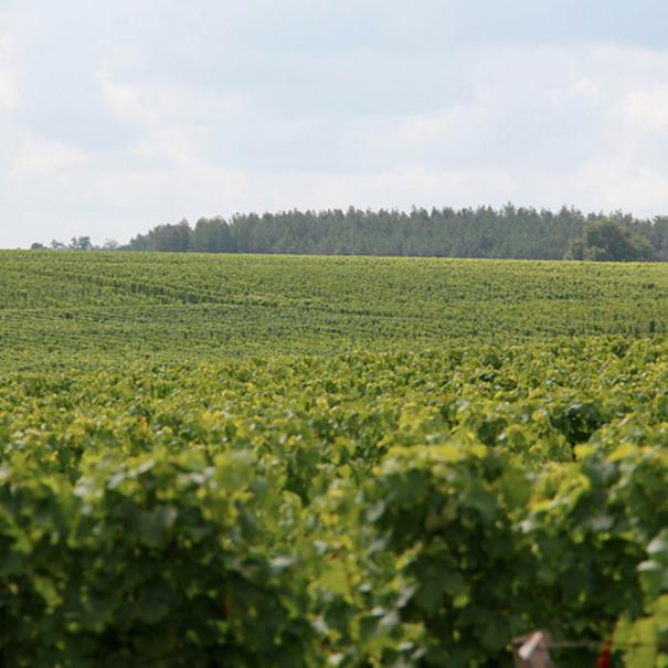 Panorámica estival del viñedo