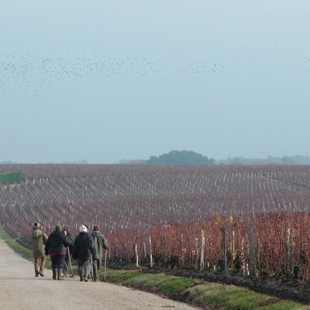 Camino junto al viñedo