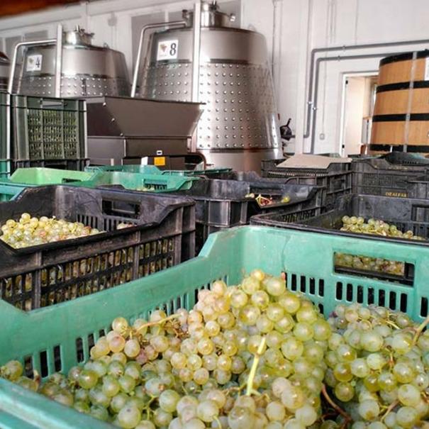 Uvas a punto de ser vinificadas