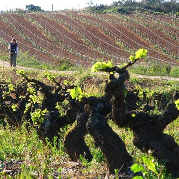 El Camino de Santiago atraviesa los viñedos