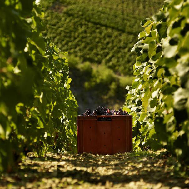 Imagen del viñedo