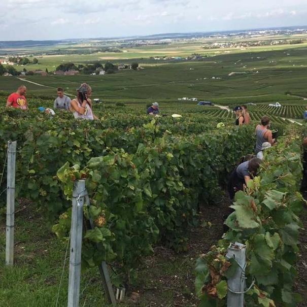 Detalle de viñedos en vendimia