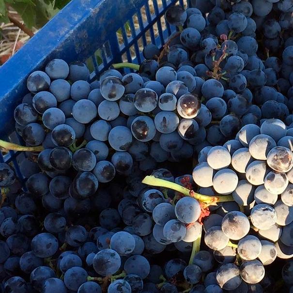 Uvas recién vendimiadas