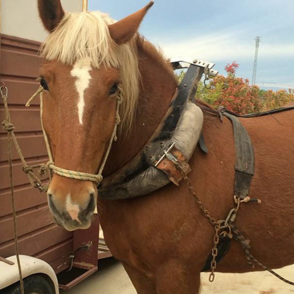 Uno de los caballos que vendimian una de las parcelas