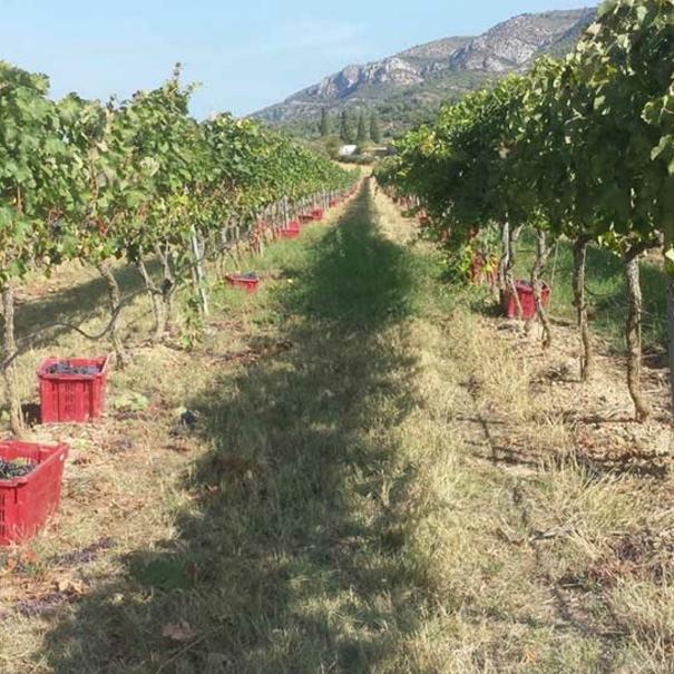 Sendero del viñedo