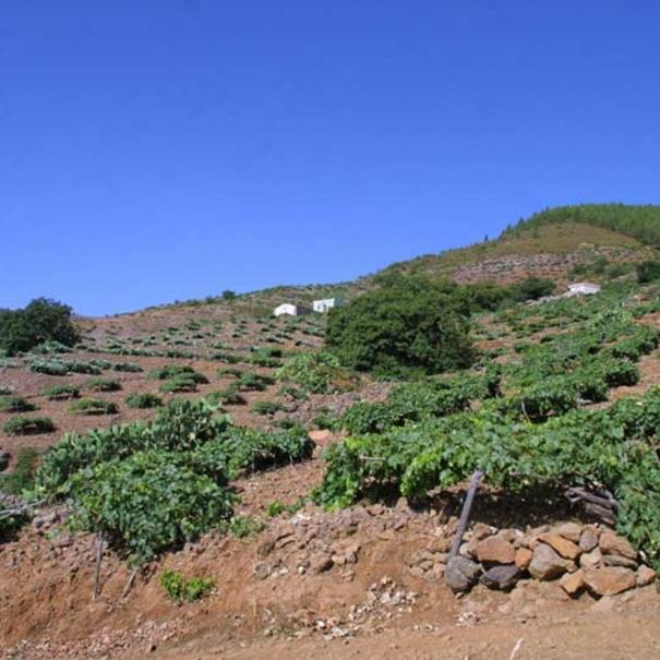 Viñas en Tenerife