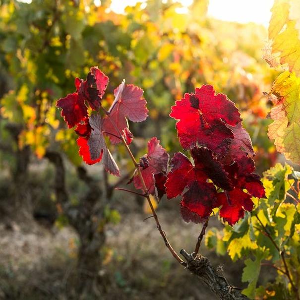 Otoño en viñedo