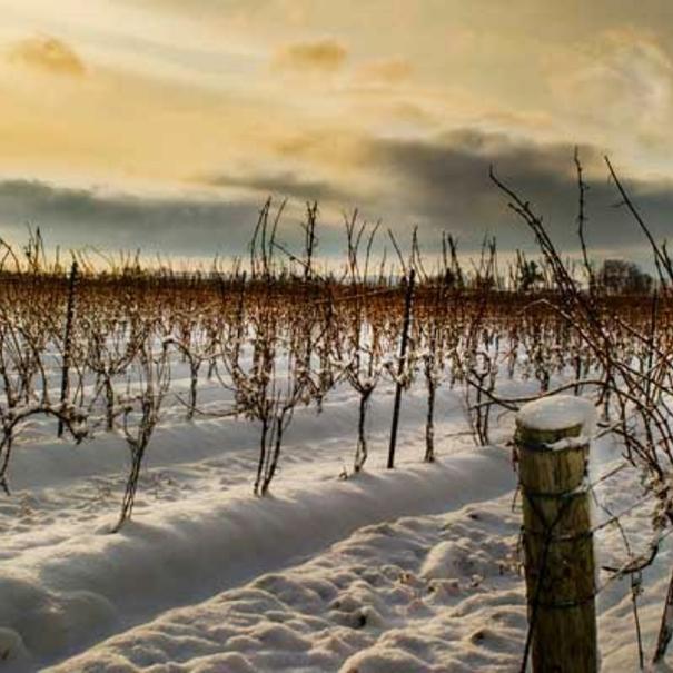 Nieve en los viñedos
