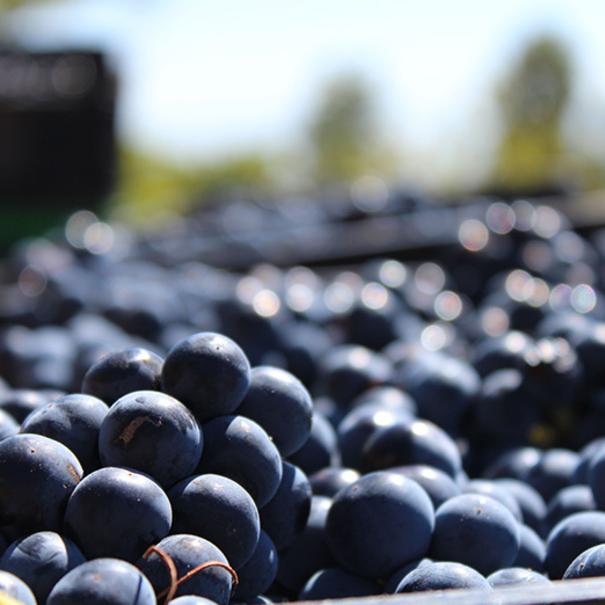 Primer plano de la uva