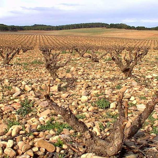 Viñedo en Castilla y León