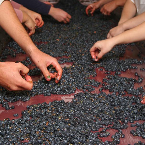 Selección de la uva en mesa