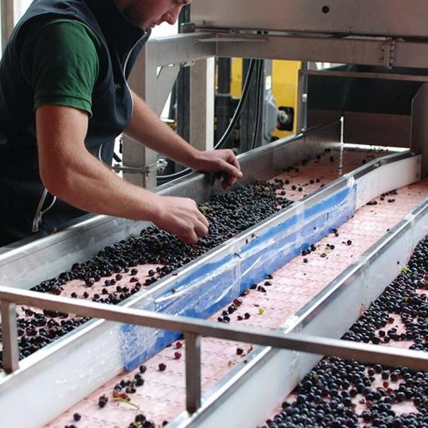 Selección de la uva
