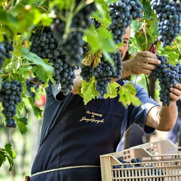 Detalle de la recogida de la uva
